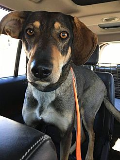 Shepherd (Unknown Type)/Hound (Unknown Type) Mix Dog for adoption in Guelph, Ontario - Bailey