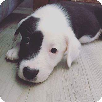 Mixed Breed (Medium) Mix Puppy for adoption in Concord, California - Dutch