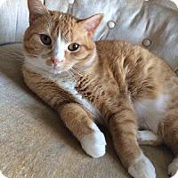 Adopt A Pet :: Bonnie - Potomac, MD