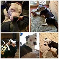 Adopt A Pet :: Lucy - Smithtown, NY