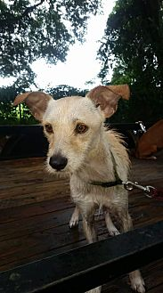 Airedale Terrier/Westie, West Highland White Terrier Mix Dog for adoption in Chiefland, Florida - Moji