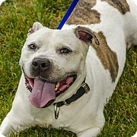 Adopt A Pet :: Harley-STRESSED IN SHELTER - Middlebury, CT