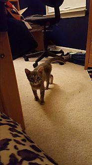 Domestic Shorthair Kitten for adoption in Stafford, Virginia - Janet