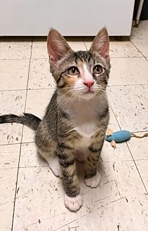 Domestic Shorthair Kitten for adoption in River Edge, New Jersey - Anise