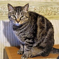 Adopt A Pet :: Sheldon - Bealeton, VA