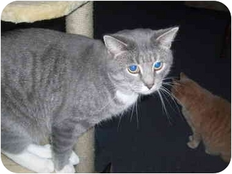 Domestic Shorthair Cat for adoption in Hamburg, New York - Jacob
