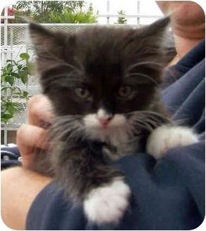 Domestic Mediumhair Kitten for adoption in El Segundo, California - Braveheart