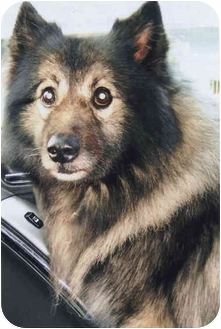 Keeshond Dog for adoption in Old Bridge, New Jersey - Dusty