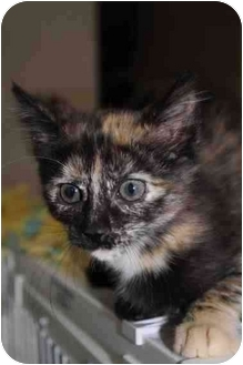 Domestic Shorthair Kitten for adoption in Toledo, Ohio - Lanie