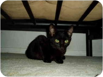 Domestic Shorthair Kitten for adoption in Little Rock, Arkansas - Isabelle
