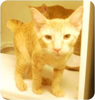 Domestic Shorthair Kitten for adoption in Maywood, New Jersey - George
