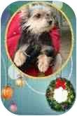 Yorkie, Yorkshire Terrier/Schnauzer (Miniature) Mix Dog for adoption in Foster, Rhode Island - Allie
