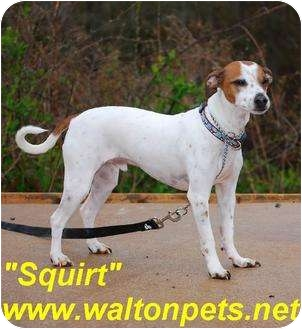 Jack Russell Terrier/Rat Terrier Mix Dog for adoption in Monroe, Georgia - Squirt