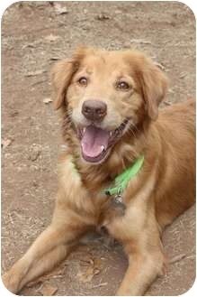 Golden Retriever Mix Dog for adoption in Knoxvillle, Tennessee - Sarge
