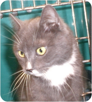 Domestic Shorthair Cat for adoption in Gaffney, South Carolina - Goody