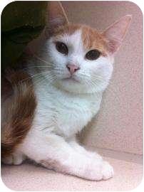 Domestic Shorthair Kitten for adoption in Galveston, Texas - Donny