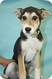 Shepherd (Unknown Type)/Collie Mix Puppy for adoption in Broomfield, Colorado - Ninja