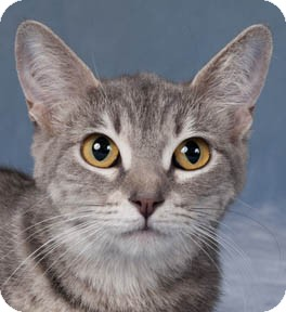 Domestic Shorthair Cat for adoption in Chicago, Illinois - Grace