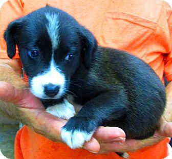 Border Collie Mix Puppy for adoption in Woodlyn, Pennsylvania - Bob