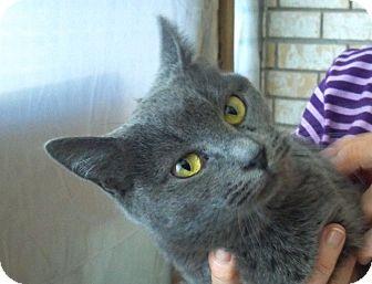 American Shorthair Kitten for adoption in Pensacola, Florida - Gracie