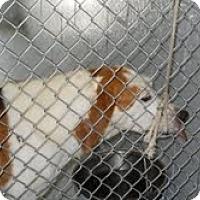 Adopt A Pet :: Walker Houndmix-animal control - Dundas, VA