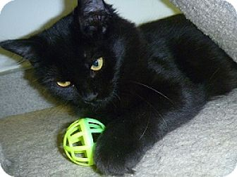 Domestic Longhair Cat for adoption in Hamburg, New York - Penny Lane