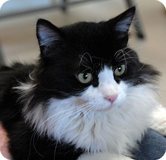 Domestic Mediumhair Cat for adoption in Newland, North Carolina - Sylvester
