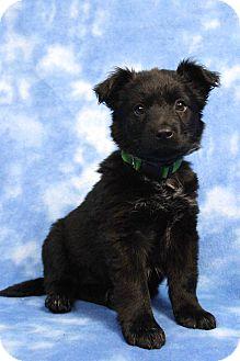 Labrador Retriever Mix Puppy for adoption in Westminster, Colorado - Caddoc