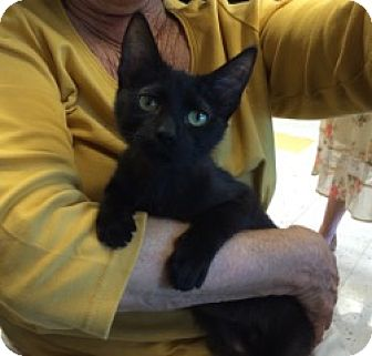 Domestic Shorthair Kitten for adoption in Los Angeles, California - Olive