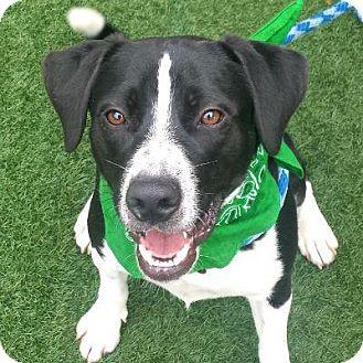 Border Collie Mix Dog for adoption in Denver, Colorado - Tetris