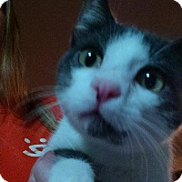 Adopt A Pet :: Dusty Teddy Bear - Walla Walla, WA