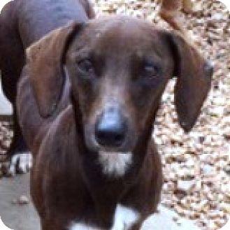 Dachshund Mix Dog for adoption in Houston, Texas - Laura Lasso