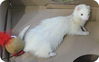 Ferret for adoption in Hartford, Connecticut - Samson