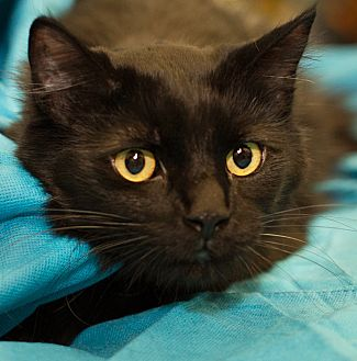 Domestic Longhair Cat for adoption in Germantown, Maryland - Mousey
