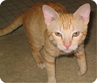 Domestic Shorthair Cat for adoption in San Antonio, Texas - Marmalade