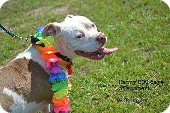 American Bulldog Mix Dog for adoption in Hazlehurst, Georgia - Scrappy