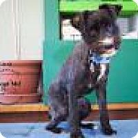 Adopt A Pet :: Boo - Shawnee Mission, KS