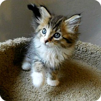 Maine Coon Kitten for adoption in Davis, California - Logan