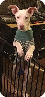 Great Dane Mix Dog for adoption in Von Ormy, Texas - Bianca(CPR)