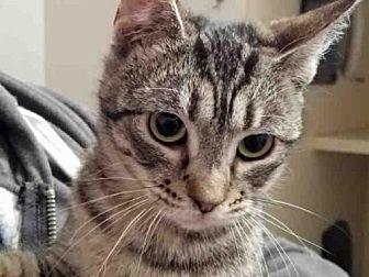 Domestic Mediumhair Cat for adoption in Rogers, Arkansas - VERA