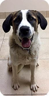 St. Bernard Dog for adoption in Denver, Colorado - Ada