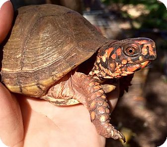 Tortoise for adoption in Spring Branch, Texas - Adult Box Turtles