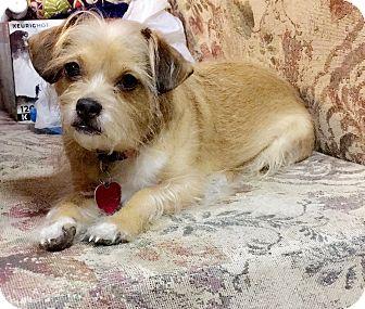 Chihuahua/Sheltie, Shetland Sheepdog Mix Dog for adoption in Woodstock, Virginia - Mili