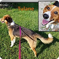 Adopt A Pet :: TULANE - LaGrange, KY