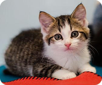 Domestic Longhair Kitten for adoption in Seneca, South Carolina - Tristan $75