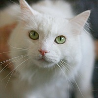 Domestic Longhair Cat for adoption in Canoga Park, California - Adonis