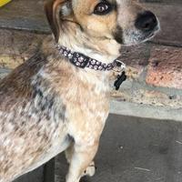 Adopt A Pet :: Mopar - Paso Robles, CA