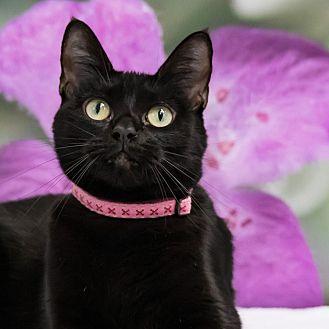 Domestic Shorthair Cat for adoption in Houston, Texas - Ino