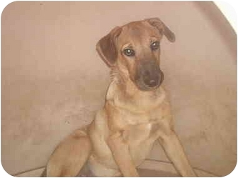 Shepherd (Unknown Type) Mix Puppy for adoption in springtown, Texas - benny boo