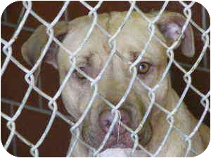American Pit Bull Terrier Mix Dog for adoption in Everman, Texas - Hazel